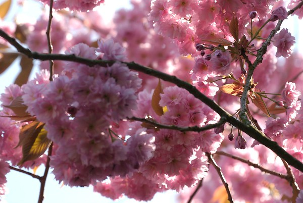 BT Magnolia Nr.  _DSC0060 1