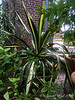Agave in Linnaeus House, MOBOT