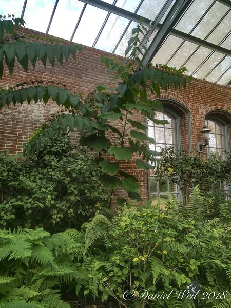 Devil's cotton, Linnaeus building, MOBOT