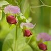 Pisum sativum | erwt - pea