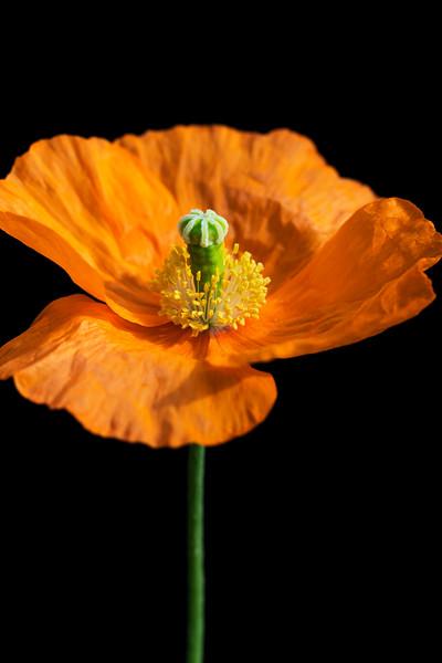 Iceland poppy, Papaver nudicaule