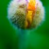 4096x6144, poppy, bud