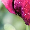 4096x6144, poppy, pink