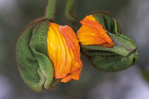6144x4096, poppy, orange, green Individuelle Fototapeten von Berlintapete Fototapeten selbst gestalten  und individuell bedrucken  In Wunschgröße und auf Vliestapete,