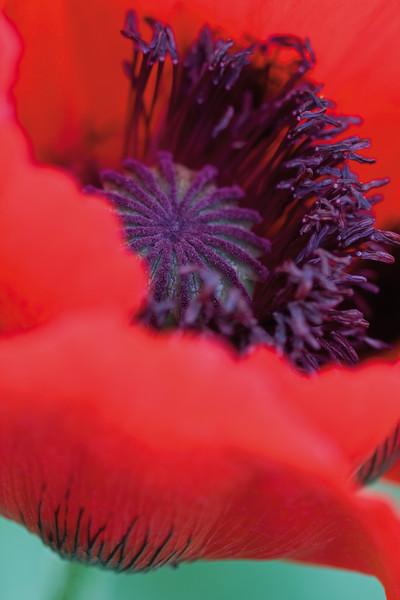 4096x6144, poppy, red Individuelle Fototapeten von Berlintapete Fototapeten selbst gestalten  und individuell bedrucken  In Wunschgröße und auf Vliestapete,