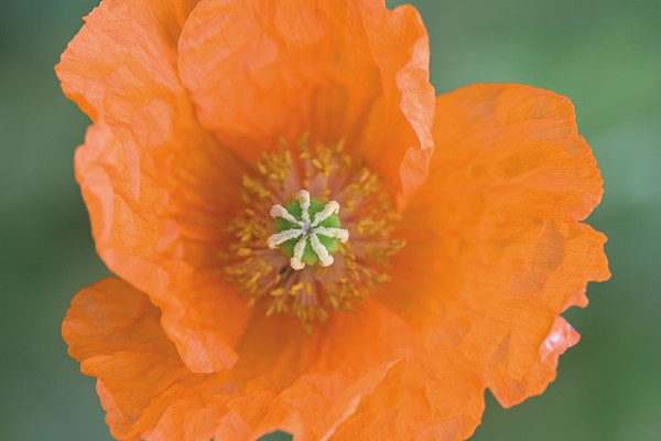 6144x4096, poppy, orange Individuelle Fototapeten von Berlintapete Fototapeten selbst gestalten  und individuell bedrucken  In Wunschgröße und auf Vliestapete,