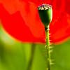 4096x6144, poppy, red