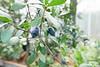 Myrtle berries