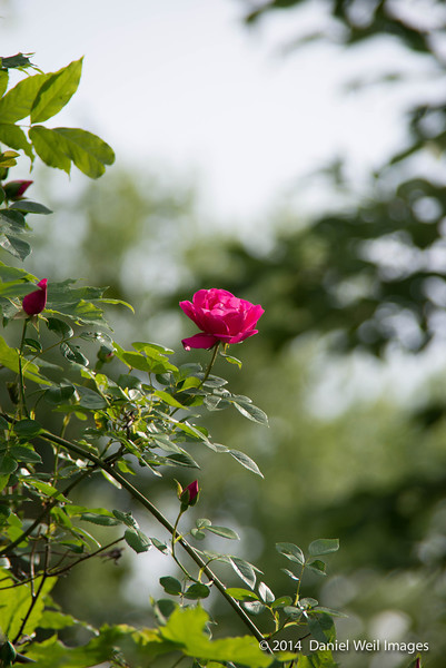Climbing American Beauty Rose