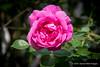 Climbing American Beauty Rose