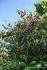 Rose climbing Edith Bogue Magnolia