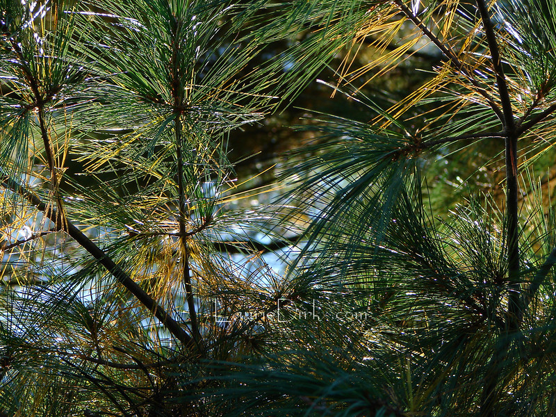 White Pine, Blue Sky