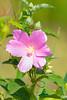 Swamp Rose Mallow (Hibiscus palustris)