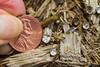 Crucibulum laeve - bird's nest fungus