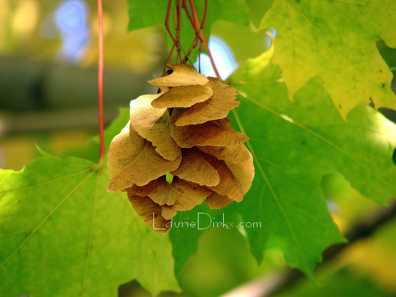 Norway Maple Seed Cluster
