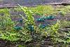 Green Elf Cup Fungi - Chlorociboria aeruginascens