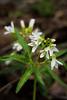 Woodland wildflower - Cutleaf Toothwort