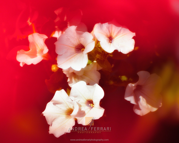 Flowers in the red mist