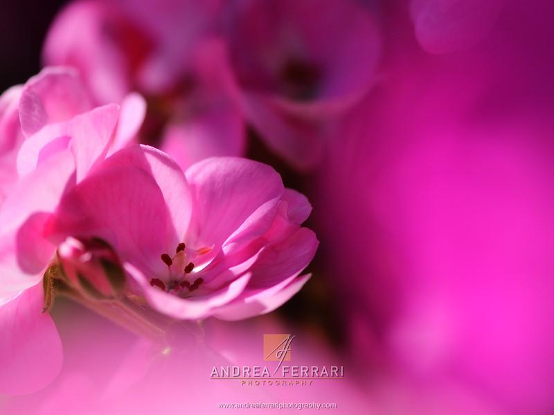 Pink flower in the pink mist