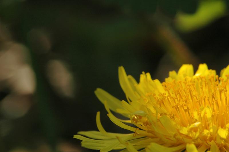 Taraxacum officinalis - paardenbloem