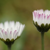 Bellis perennis - Madeliefje, Daisy