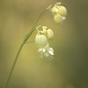 Silene vulgaris | Blaassilene - Bladder campion