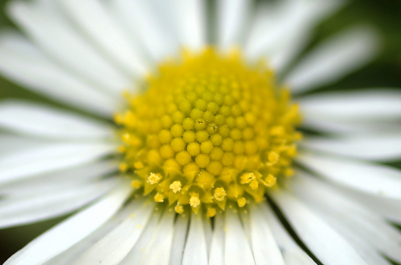Bellis perennis | Madeliefje - Daisy