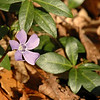 Vinca minor | Kleine Maagdenpalm - Common periwinkle
