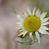 Matricaria maritima subsp. inodora - Reukloze kamille