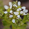 Cochlearia officinalis subsp. officinalis | Echt lepelblad - Scurvy grass