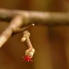 Coryllus avellana / Hazel - hazelaar