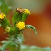 Senecio vulgaris - klein kruiskruis