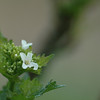 Alliaria petiolaris | Look zonder look - Garlic mustard