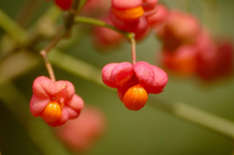 Euonymus europaeus   Kardinaalsmuts - Spindle tree
