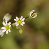 Erophila verna | Vroegeling - Common whitlowgrass