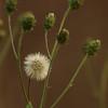 Hieracium umbellatum - schermhavikskruid, leafy hawkweed