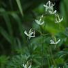 Silene nutans | nachtsilene - Nottingham catchfly