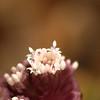 Petasites hybridus | Groot hoefblad - Butterbur