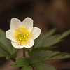 Anemone nemorosa | Bosanemoon - Wood anemone, Windflower