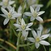 Ornithogalum umbellatum | Gewone vogelmelk - Star of Bethlehem