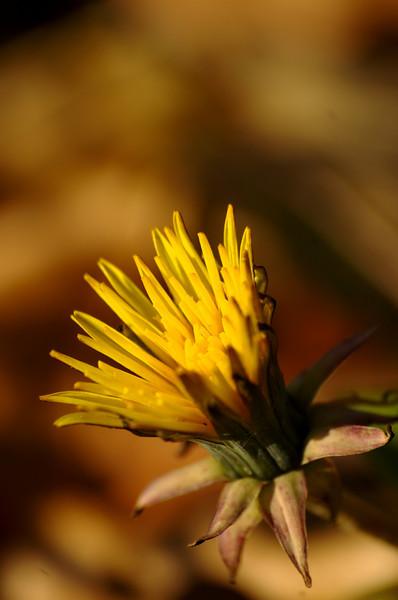Taraxacum officinale - Paardenbloem