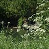 Anthriscum sylvestris | Fluitenkruid - Wild chervil