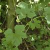 Bryonia dioica | Heggerank - White bryony, European white bryony