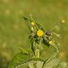 Sonchus oleraceus - Melkdistel, Perrenial sow thistle