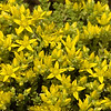 Sedum acre | Muurpeper - Wallpepper
