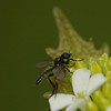 Alliaria petiolaris | Look zonder look - Garlic mustard<br /> Bibio marci | Rouwvlieg, maartse vlieg - St Marc's fly