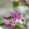 Lunaria annua | Tuinjudaspenning - Annual honesty