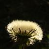 Taraxacum officinalis - Paardenbloem, Dandelion