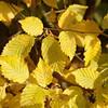 Carpinus betulus - Haagbeuk, Hornbeam