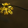 Cornus mas | Gele kornoelje - Cornelian cherry, Cornelian Cherry Dogwood